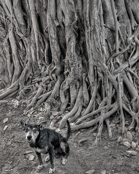 Tree Tree Trunk Dog Dogs Of EyeEm Black Blackandwhite Bnw Bnw_collection Bnw_friday_eyeemchallenge Dogslife Looking At Camera Tree_collection  Treescollection Dogs Animal Themes Animal_collection The Week on EyeEm EyeEm Gallery EyeEm Selects Backgrounds Full Frame Textured  Pattern Close-up