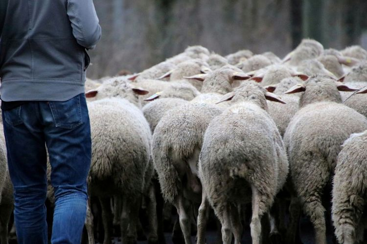 Rear view of man standing in flock of sheep