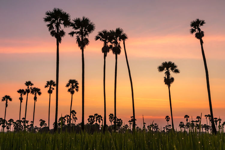 Sunset at Dong Tan, Pathum Thani Sunset Sky Plant Tree Palm Tree Beauty In Nature Scenics - Nature Orange Color Tropical Climate Silhouette Growth Tranquility Nature Tranquil Scene Cloud - Sky Water Land Tall - High Outdoors Idyllic Coconut Palm Tree
