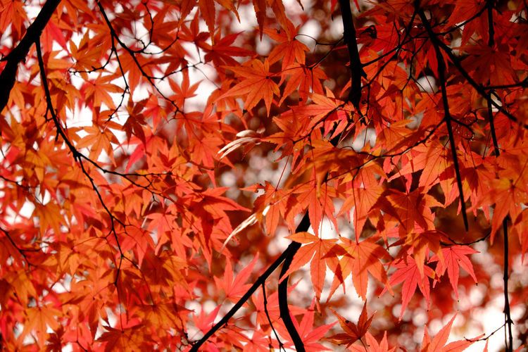 Autumn Close-up Leaf Maple No People Outdoors Plant Red
