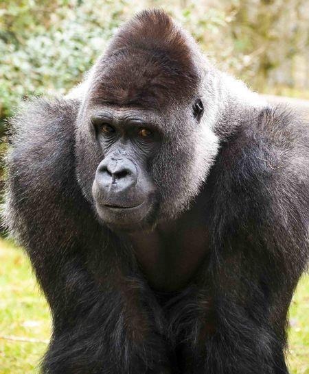 Close-up portrait of gorilla on field