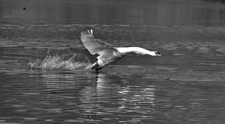 Swan splashing water while landing in lake
