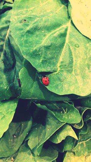 Plant Part Leaf Green Color Ladybug Beetle Animal Wildlife Animals In The Wild