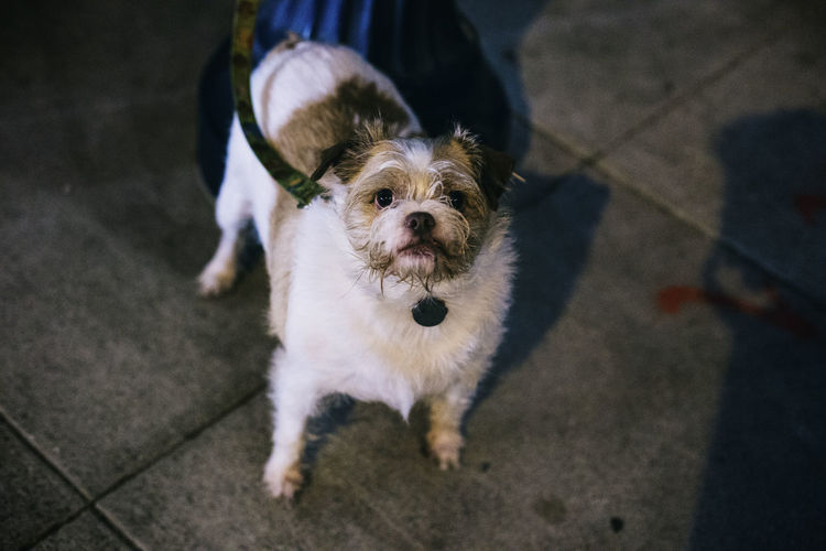 High angle portrait of dog standing on sidewalk at night