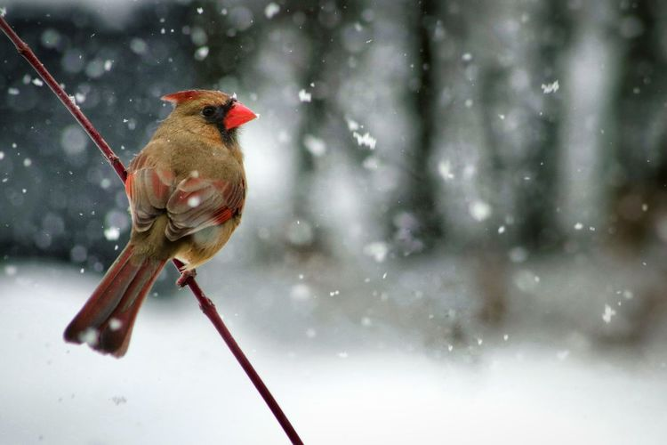 Female Cardinal Snowing Snow Winter Cold Temperature Bird Outdoors Red One Animal Perching Close-up Nature Beauty In Nature Tranquil Scene The Week on EyeEm The Great Outdoors - 2018 EyeEm Awards 10 Holiday Moments 17.62°