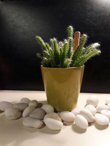 Nature No People Studio Shot Cactus Bambino Green White Stones Indoors