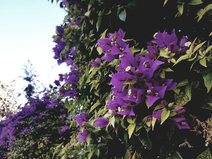 Flores Flower Purple Nature Fragility Beauty In Nature Day Lilac Lifestyles