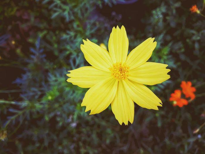Hello, Monday สวัสดีวันจันทร์ Yellow Flower Flower Head Flower Yellow Petal Springtime Summer Alternative Medicine Herbal Medicine Plant Part Close-up Flowering Plant Plant Life Sunflower