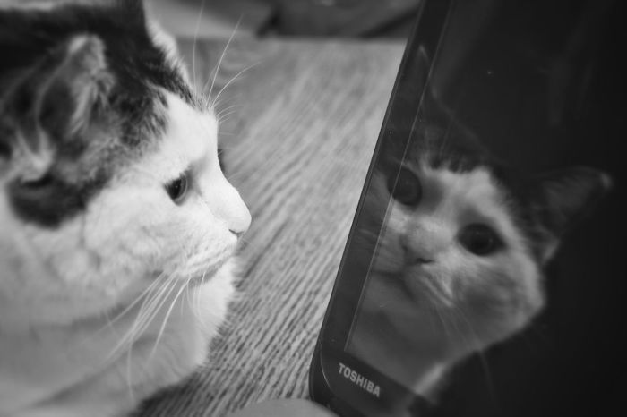 Fat Cat Black And White Lazy Cat Cat Laying Down Cat Cat Eyes Whiskers Cat Face Cat Nose Up Close Profile Computer Reflection