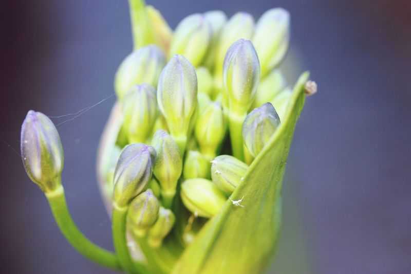 Agapanthus Bud Agapanthus Macro Flower Flowering Plant Freshness Plant Close-up Beauty In Nature Vulnerability  Green Color Fragility Growth Selective Focus No People Springtime Petal Nature Flower Head Focus On Foreground