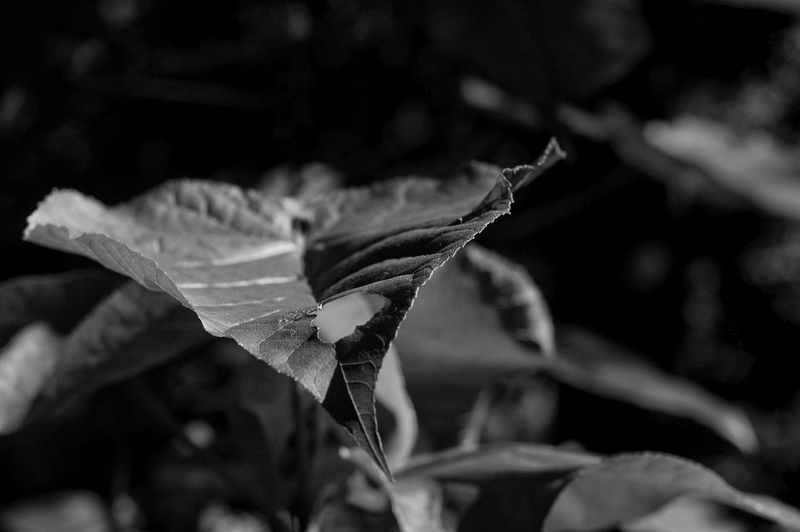 Close-up Leaf Nature Plant Growth No People Beauty In Nature Outdoors Day Freshness Black And White Black & White
