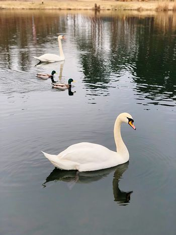 The Swan White Feather Animal Love Swans On The Lake Eyemphotos Eyem Animal Lovers Water Animals In The Wild Bird Animal Wildlife Lake Animal Animal Themes Reflection Group Of Animals Swan Waterfront Beauty In Nature Two Animals Nature Water Bird Floating On Water