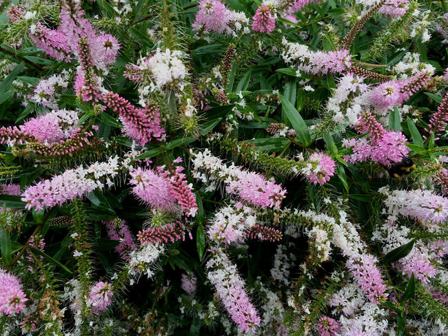 giant pink catkins Abundance Backgrounds Beauty In Nature Blooming Blossom Botany Close-up Day Flower Flower Head Fragility Freshness Full Frame Green Color Growing Growth In Bloom Nature No People Outdoors Petal Pink Color Plant Purple Tranquility