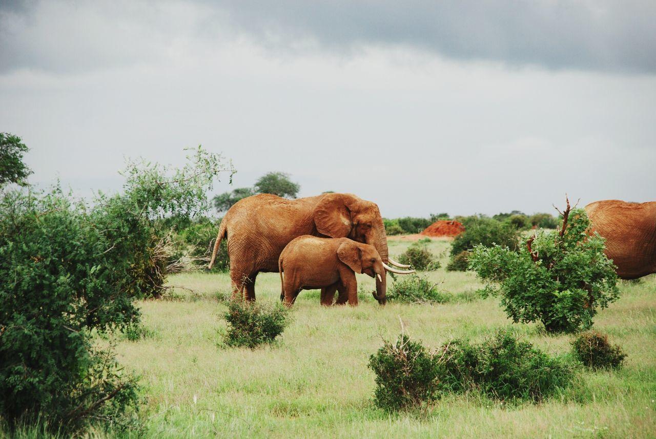Elephants on grassy field against cloudy sky