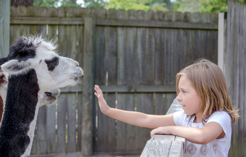 A cute little girl reaches out to pet lamas at a local petting zoo Active Animal Themes Child Childhood Children Only Cute Day Domestic Animals Girls Livestock Llama Mammal Nature One Animal One Girl Only One Person Outdoors People Petting Zoo Real People Zoology