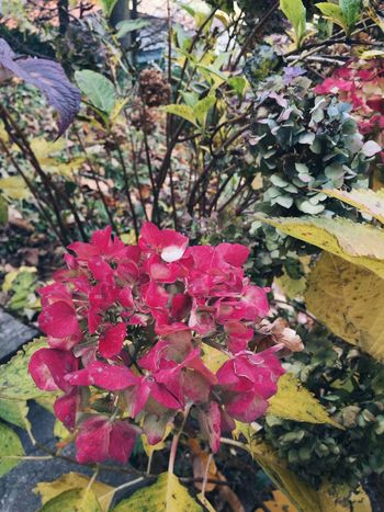 autumn colors Seasons Fall Autumn colors Hydrangea Flower Growth Beauty In Nature Nature Fragility Day Outdoors Petal Leaf No People Pink Color Freshness Flower Head Close-up Plant