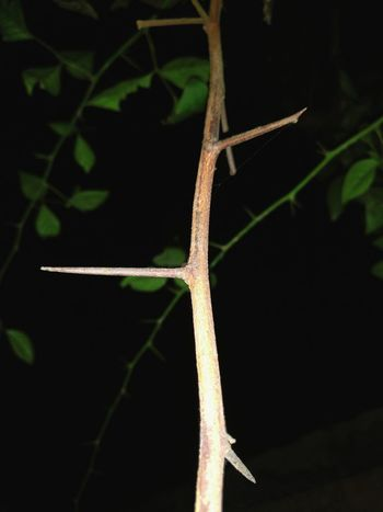 Environmental Conservation Nature Leaf Insect Close-up No People Beauty In Nature Outdoors Night Night Photography Hook Spine Barb Pricks  Prong Spur Thorn