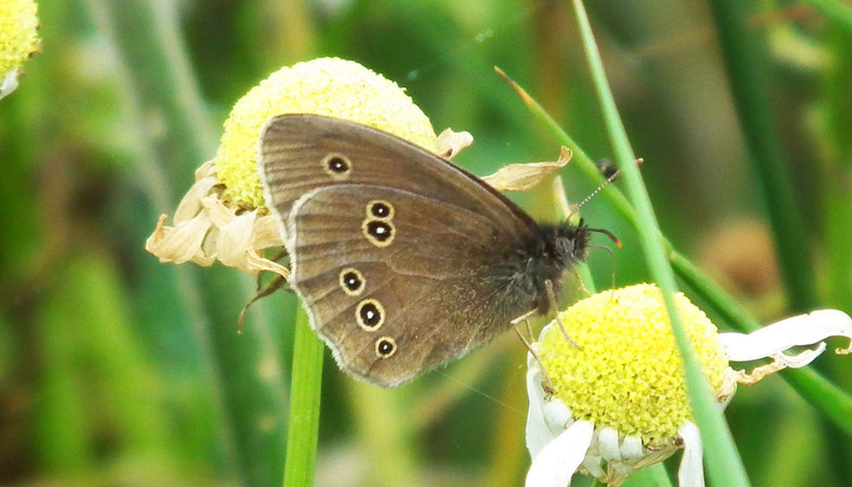 Butterfly Butterfly - Insect Insect Animals In The Wild Close-up Nature Plant Perching Fragility Bempton Cliffs Macro