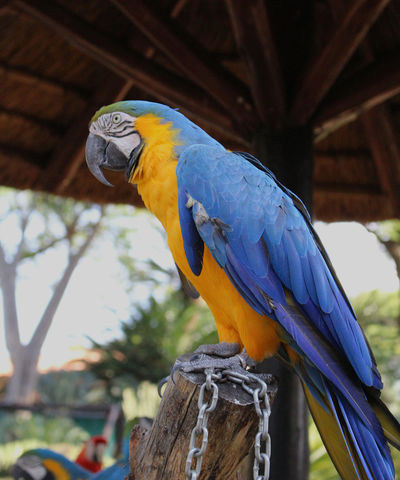 Zoo Animal Animal Themes Animal Wildlife Animals In The Wild Beauty In Nature Big Parrot Bird Bird Park Branch Captivity Close-up Focus On Foreground Gold And Blue Macaw Hyacinth Macaw Macaw Nature No People One Animal Outdoors Parrot Perching Vertebrate Wood - Material Zoological Garden