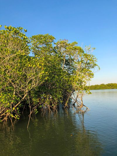 Mangrove in Darwin Harbour, Northern Territory, Australia. Fragile Ecosystem Mangrove Halophytes Rhizophora Rhizophoraceae Plant Growth Beauty In Nature Sky Water Tree Tranquility Nature No People Clear Sky Green Color Outdoors Tranquil Scene Scenics - Nature Sunlight