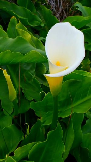 Wild Cali Lilly Cali Lilly White Green Leaves Bud Pistil Pollen Delicate Rewilding Wild Nature Growing By The Ocean Field Zen Elegant Silence Copy Space Delicate Leaf Freshness Green Color No People Growth Flower Nature Plant Fragility Flower Head