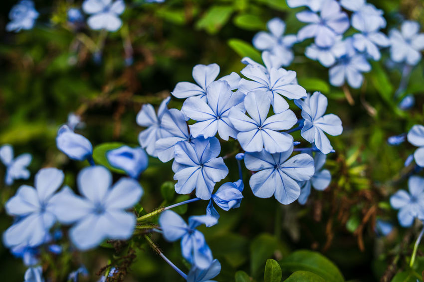 Autumn in Liguria Beauty In Nature Blooming Close-up Day Flower Flower Head Focus On Foreground Fragility Freshness Growth Nature No People Outdoors Periwinkle Blue Periwinkle Flowers Petal Plant Purple