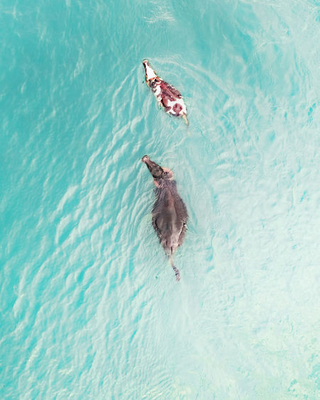 High angle view of a buffalo and a cow in the lake