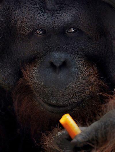 Male Orang Utan Close-up Close Up Canon EOS 6D RAW available Maximum Closeness