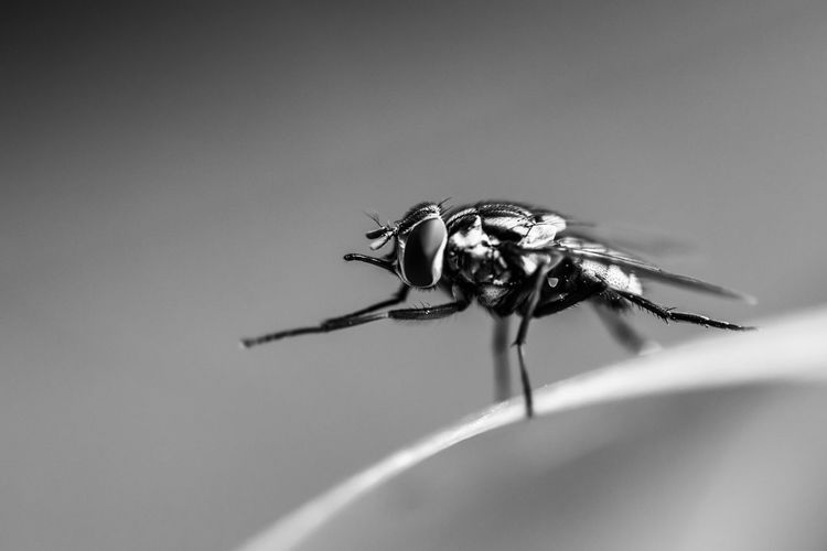 Close-Up Of Fly On A Blade Of Grass