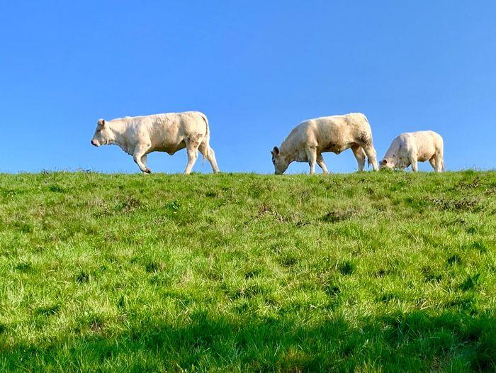 Cow Mammal