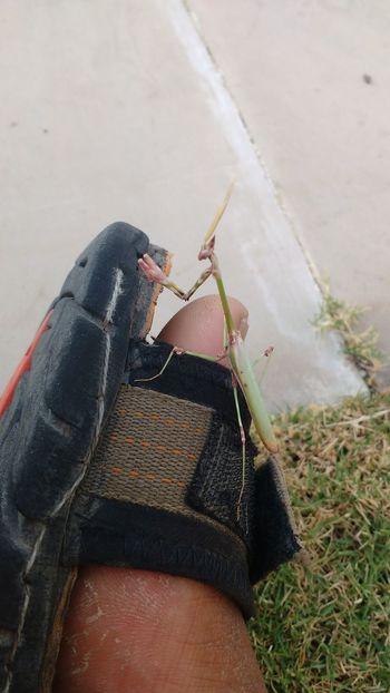 Colourful Mantis Nature Meets Man Sandal