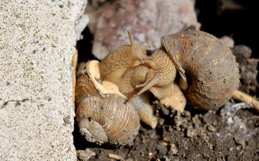 Close-up of snail crawling