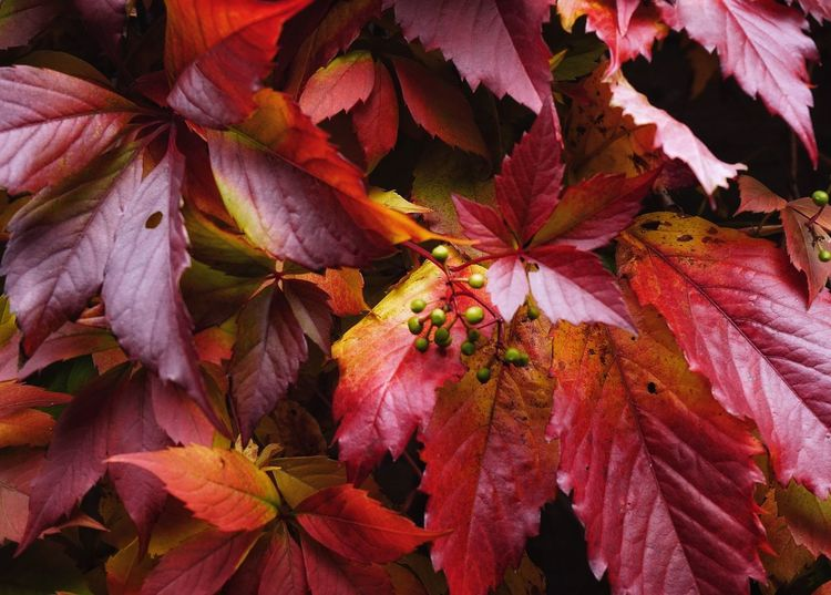 Liana Plant Nature Red Color No People Growth Autumn Leaf Outdoors Beauty In Nature Close-up Day Tree Freshness SONY A7ii Sonyalpha EyeEmNewHere Nature
