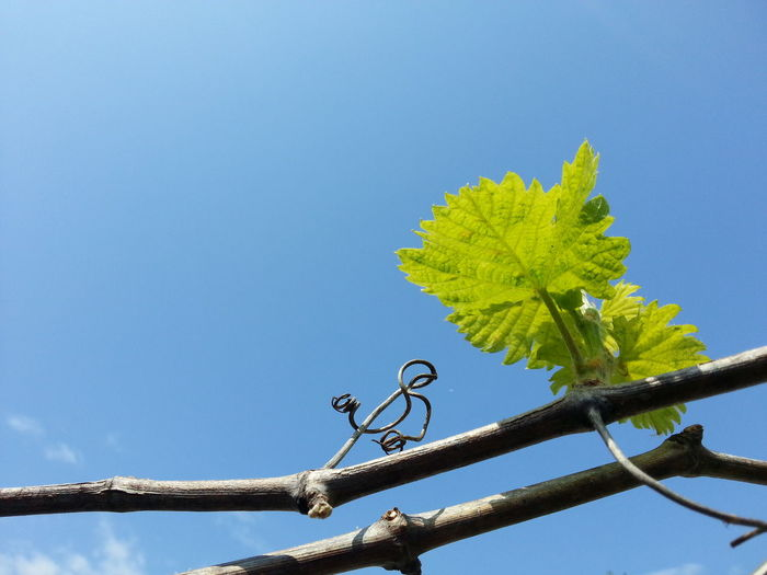 Relaxing Hanging Out Enjoying Life Sole Grapes Grapevine Vite Blue Sky Green Leaves