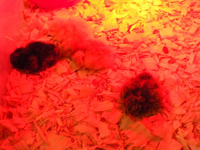 Newborn chicken hatchlings in a man-made controlled environment with incubator simulation. Jefferson County Fair Newborn Chicken 🐣💟 Susan A. Case Sabir Unretouched Photography Baby Chicks Beauty In Everything Beauty In Ordinary Things Chicken Hatchlings Close-up Heat Lamp Heat Lamp Beautiful High Angle View Incubator  Incubator  Indoors  Newborn Chicks No People Red Red Color Wood Chips Yellow Color