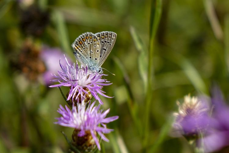 Scenics - Nature Nature_collection Beauty In Nature Flower Collection Silence Of Nature Butterfly - Insect Butterfly Butterflies Butterfly Collection Tranquil Scene EyeEmBestPics Flower Flower Head Butterfly - Insect Thistle Insect Purple Lavender Close-up Animal Themes Lavender Colored In Bloom Blooming Flowering Plant Symbiotic Relationship Wildflower Blossom Plant Life Botany Lilac