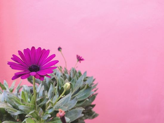 Pink Color Purple Petal Copy Space Plant No People Fragility Flower Head Freshness Nature Beauty In Nature Close-up Growth Eastern Purple Coneflower Outdoors Day