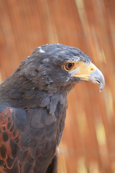 Eagle portrait VII Eagle No Filters Or Effects No Filter, No Edit, Just Photography Animal Themes Animal Wildlife Animals In The Wild Beauty In Nature Bird Bird Of Prey Cazorla Cazorla Jaen Close-up Eagle - Bird Eagle Portrait Eaglephotography Nature One Animal Portrait Photography
