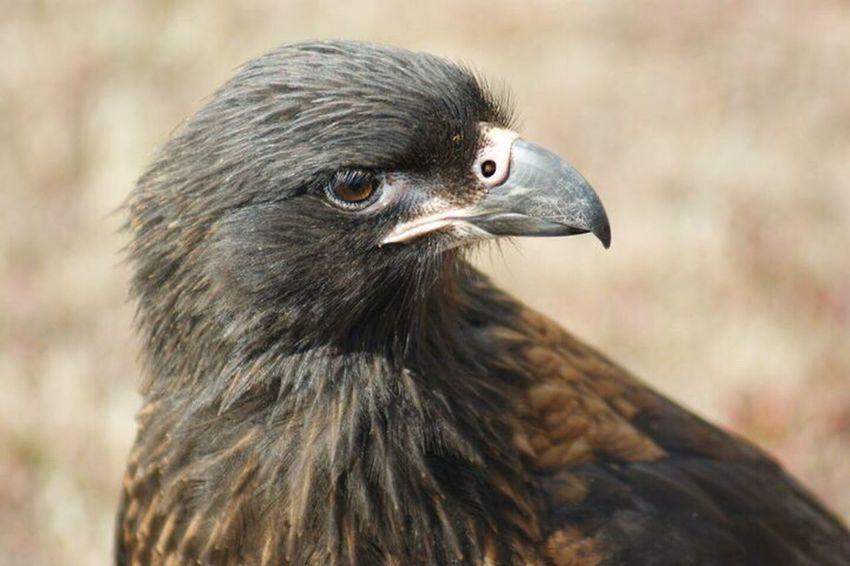 Bird Of Prey Johnny Rook Close-up