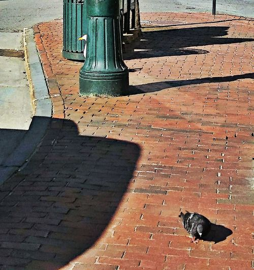 Ok, you count and i'll hide... ~ Seagull Pigeon Animal Friends Fun Moments Enjoying Life My Unique Style My City Brick Sidewalk In Portland Maine USA Springtime Happy Moment Birds Life Color Of Life No People Animal Themes Loving The Landscape Shadows And Light Animal Behavior Animal Lover Hide And Seek