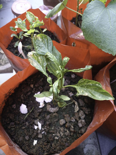Two orange grow bags, with one of the bags having a plant, and the leaves of the plant are shriveled, indicating that the plant is suffering from some deficiency. Needs to be corrected, else the plant could die. Cocopeat Cocopeat Plug Grow Bag Grow Bags Infected Plant Leaf Leaf 🍂 Leaves No People Nutrition Problem Orange Grow Bag Potting Mix Stunted Leaves