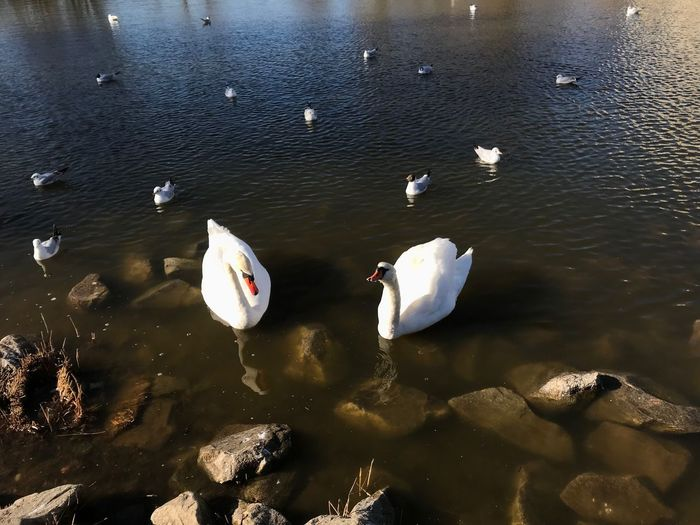 Water Animal Wildlife Animals In The Wild Animal Themes Group Of Animals Bird Animal Vertebrate Lake Swimming High Angle View No People Swan Day Nature Large Group Of Animals Water Bird White Color Zoology Floating On Water