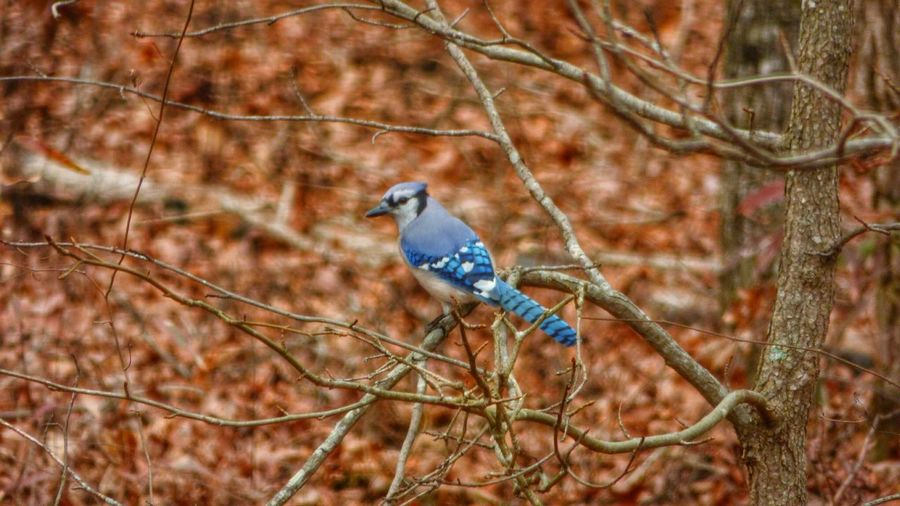 Blue jay perching on tree