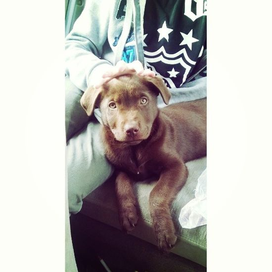 His name is 🐶 Zico Pup Chocolatelab Labrador