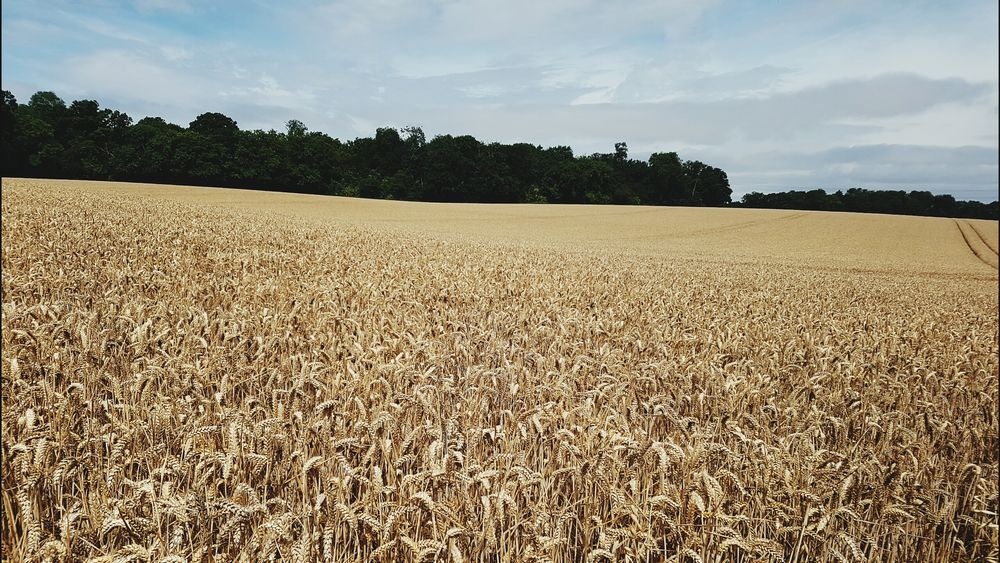 Wheat Field Golden Raw