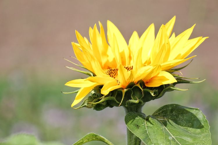 Close-up of sunflower blooming during sunny day