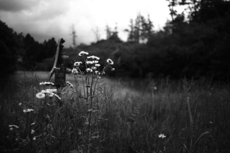 ELMARIT-M 28mm F2.8 Beauty In Nature Blackandwhite Bw Day Environment Field Flower Flowering Plant Focus On Foreground Freshness Grass Growth Leica M9p Monochrome Nature No People Outdoors Plant Selective Focus Sky Tranquil Scene Tranquility Tree
