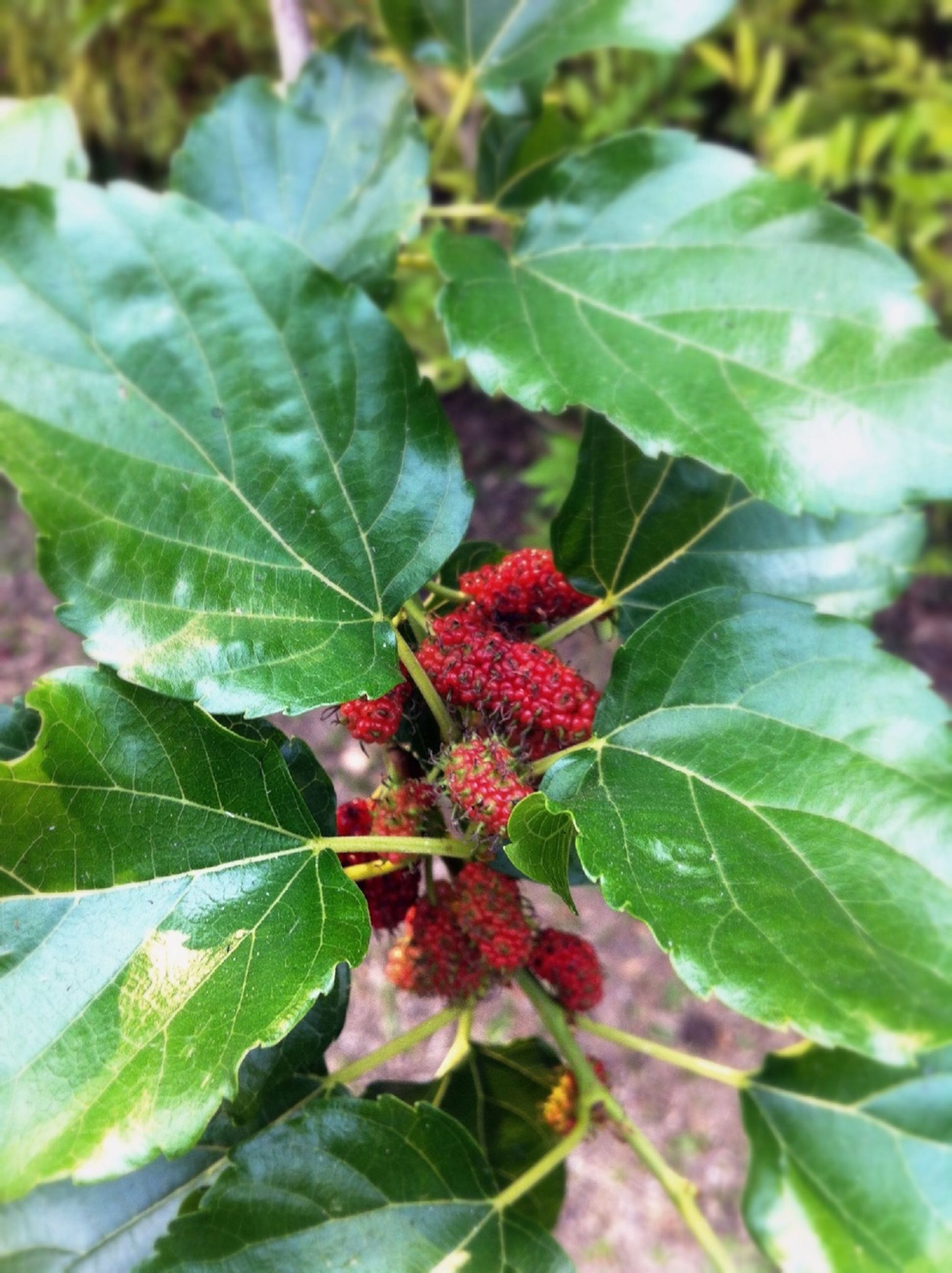 leaf, red, fruit, growth, freshness, food and drink, plant, close-up, green color, nature, berry fruit, focus on foreground, food, beauty in nature, berry, day, tree, outdoors, ripe, no people
