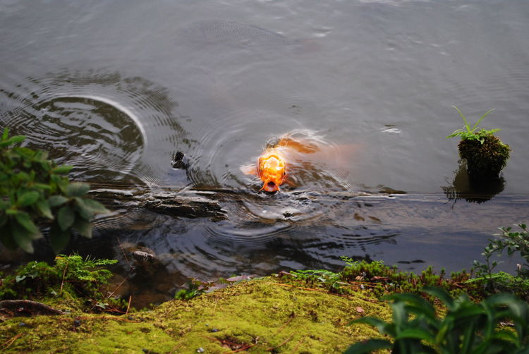 Ooooooooo Fish Coi Carp Water Nature Plant Burning Heat - Temperature Lake Fire No People High Angle View Rippled Beauty In Nature Swimming Motion
