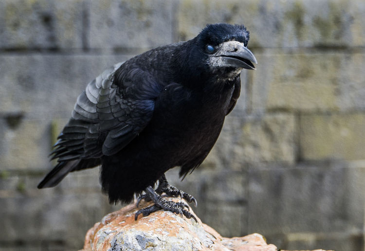 Angry Bird Angry Bird Animal Themes Animal Wildlife Animals In The Wild Beak Bird Bird Of Prey Black Color Close-up Day No People One Animal Outdoors Perching Raven - Bird